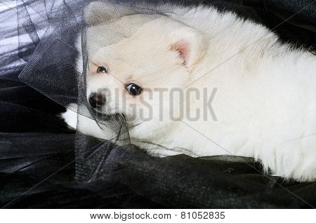Pomeranian Puppy Lying On The Black Fabric And Chews It