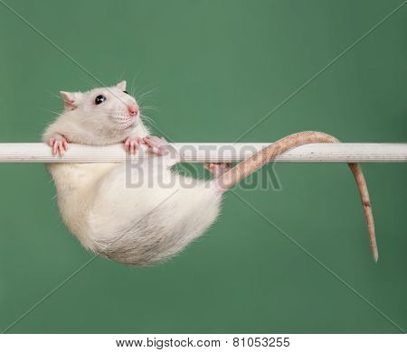 Rat Athlete