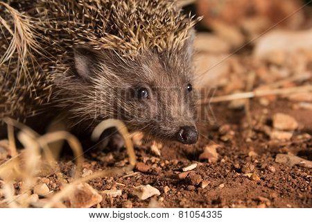 Cute Headghog, At Night