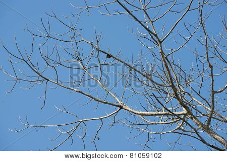 leafless tree and blue sky background
