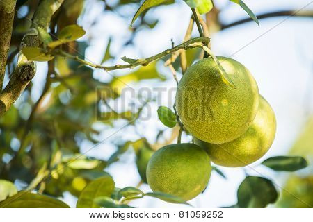 Pomelo fruit tree in the garden, Thailand