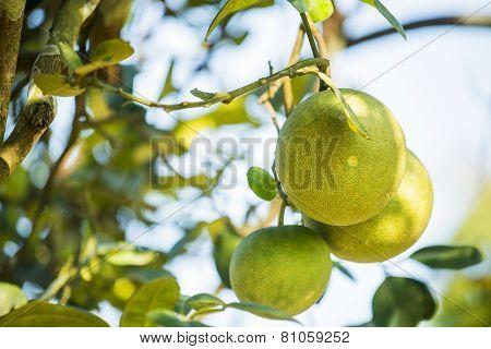 Pomelo fruit tree in the garden, Thailand