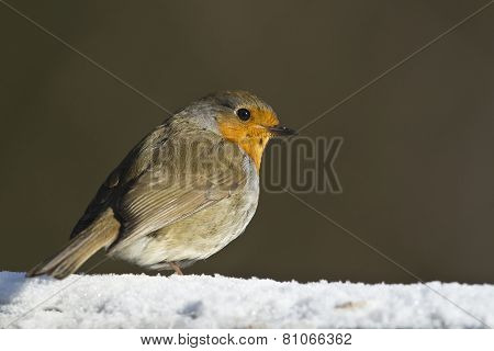 European robin (Erithacus rubecula) in the snow, Vosges, France