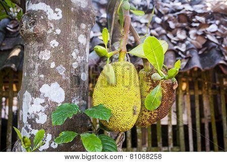 Breadfruit Growing On The Tree