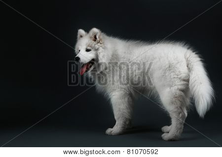 Lovable Samoyed dog on dark background