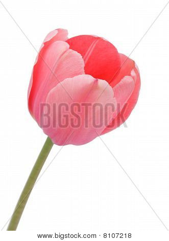 Tulip, Isolated