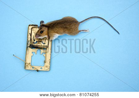 Dead  Pest Apodemus Flavicolis Yellow Necked Mouse  In  Mousetrap