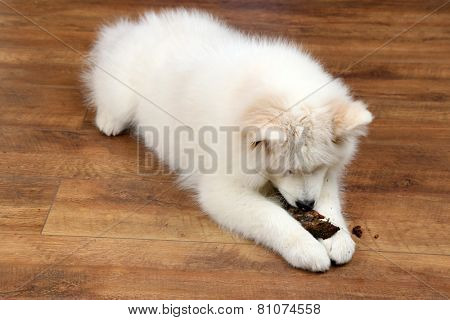 Cute Samoyed dog chewing firewood on wooden floor background