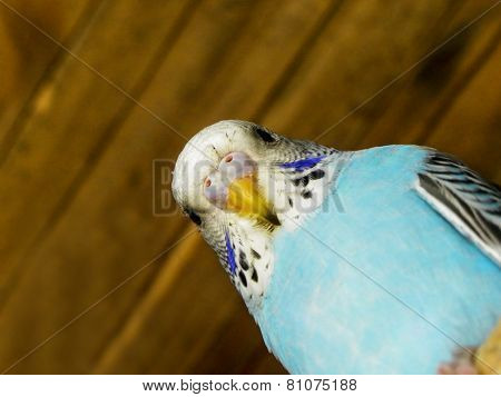 Baby Budgie 1