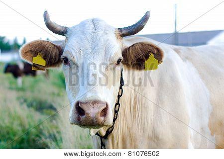 Beige Cow