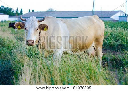 Beige Cow With Yellow Tags