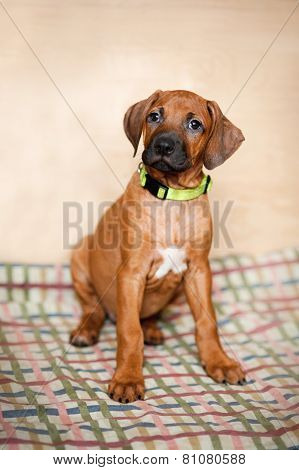 Little Rhodesian Ridgeback Puppy At Home