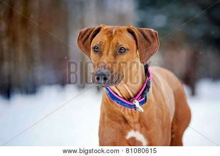Rhodesian Ridgeback Portrait On Winter Background