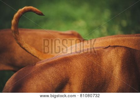 Back And Tail Of Rhodesian Ridgeback Dog