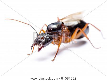 Black Carpenter Ant (camponotus Pennsylvanicus)