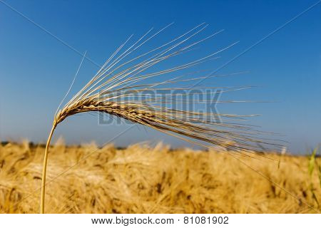 a corn field with barley ready for harvest. symbolic photo for agriculture and healthy eating