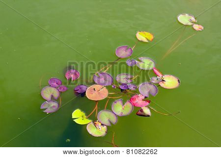 Lotus and small insects, water plants in summer and some small insects