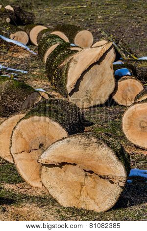 trees were felled for firewood for heat to get for the winter