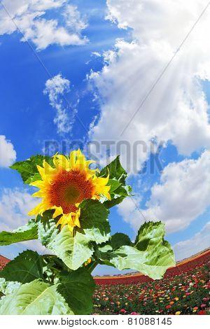 Gorgeous huge sunflower on the field of buttercups garden. Kibbutz in southern Israel