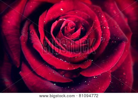 Red Rose Flower close up background. Beautiful Dark Red Rose closeup. Symbol of Love. Valentine card design