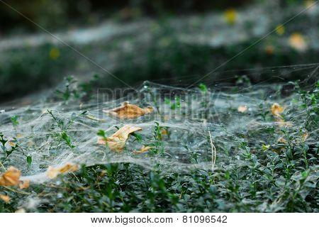 Spider Web On Bush