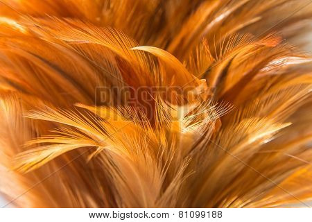 Hen Feather 1