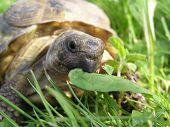 stock photo of testudo  - Central Asian tortoise (Testudo horsfieldi) eating leaf