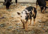 stock photo of piglet  - Piglets roaming wild at the side of the road near Albertacce in central Corsica - JPG