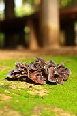 stock photo of judas tree  - ear mushroom growing in the forest  - JPG
