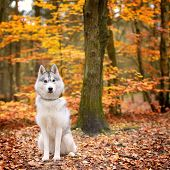 image of husky sled dog breeds  - portrait of female Siberian Husky in autumn forest - JPG