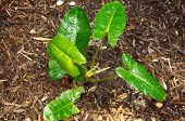 image of elephant ear  - The green leaves of the elephant ear plant glisten from morning rain - JPG