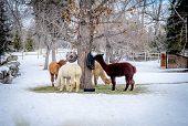 stock photo of alpaca  - Alpacas feeding on a rural location during winter - JPG