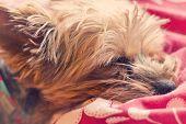 foto of yorkie  - Adorable Yorkie terrier sound asleep in bed - JPG