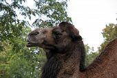 foto of zoo  - African camel in the zoo park. camel in the zoo.