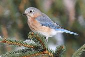 pic of bluebird  - Female Eastern Bluebird (Sialia sialis) on a snow covered perch ** Note: Visible grain at 100%, best at smaller sizes - JPG