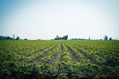 picture of cassava  - The cassava farm at the countryside of Thailand - JPG