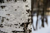 stock photo of color spot black white  - tree a birch close up in park in the winter - JPG