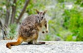 picture of wallabies  - A posing small Rock Wallaby from Queensland - JPG