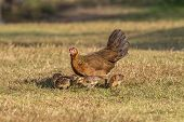 stock photo of bantams  - Pet Bantam hen with new born chickens baby chicks foraging for feed - JPG
