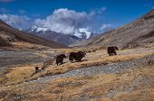 stock photo of yaks  - Herd of yaks in Pamir mountains in Tajikistan - JPG