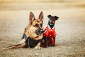 pic of miniature pinscher  - Brown German Sheepdog And Black Miniature Pinscher  Pincher Laying Together On The Dry Grass. Autumn