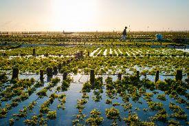 stock photo of algae  - Algae farm field in Nusa Lembongan Indonesia - JPG