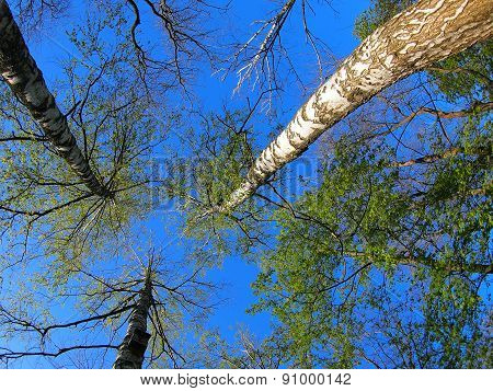 Three Birch Trees On The Background Of The Sky