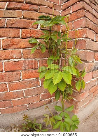 Creeping Wild Vines On The Wall Of A Brick Building