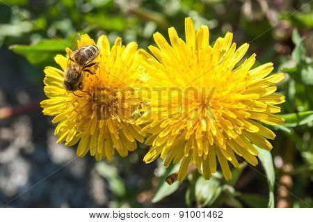 Yellow Dandelion Flowers On A Sunny Day