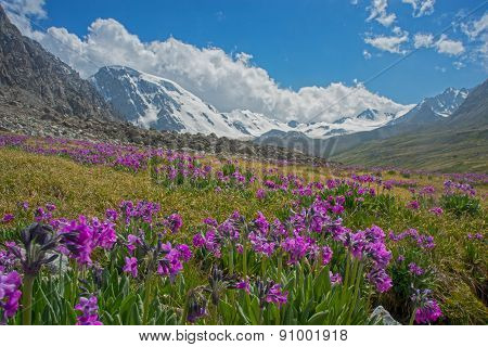 Alpine Meadow In Bloom