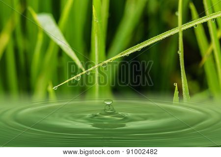 Green  Grass Leaves With Dew Drops