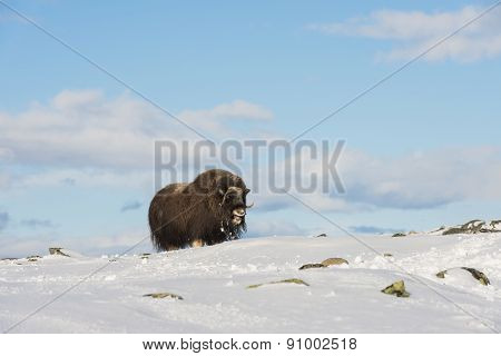 Muskox Single With Blue Sky