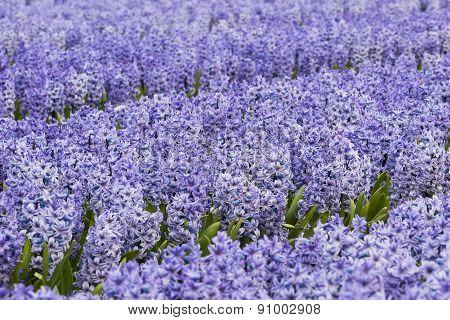 Purple Hyacinth Field Detail