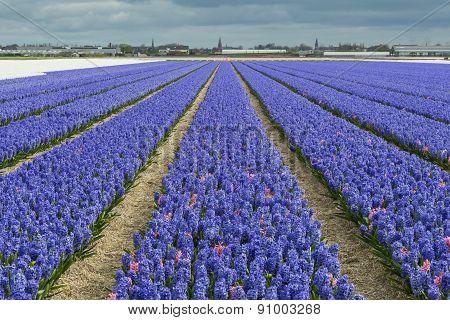 Purple Hyacinth Field With Church